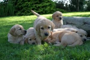 irish-guide-dogs
